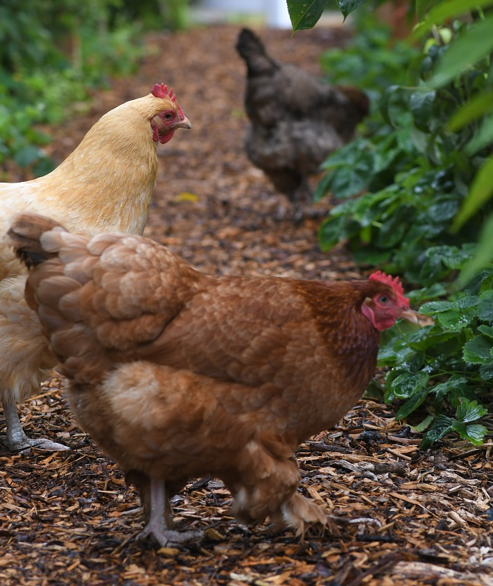 How Does Pain Correlate To Chickens Laying Eggs? Hens looking for nesting areas.