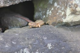 Cross the UK: HTCS Duke of Edinburgh Silver Final Expedition Nature Watch, Mr Stones spotted this little lizard emerging from a wall near the quarry on day one.