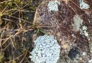 Liking the Lichen or Mad about Moss