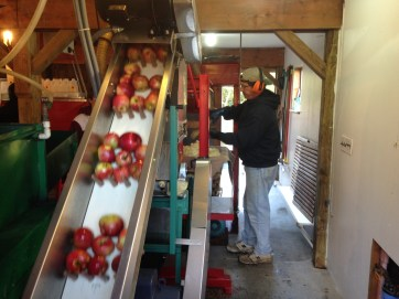 The apples on a conveyor belt, headed for the machine that will grind them up into what's called mash. That's owner Geoff Thompson on the right.