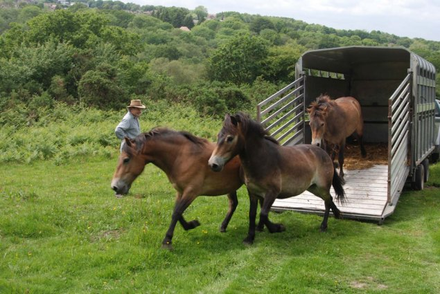 Release of the Exmoor Ponies