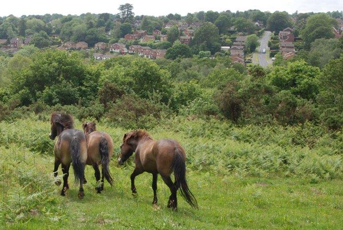 Exmoor Ponies running in their new home at Palesgate Meadow