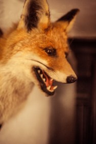 Fiery Fox