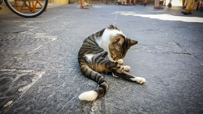 Toby cat cleaning itself on street