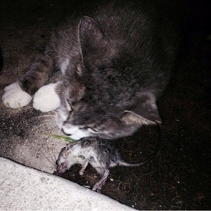 Grey cat with dead mouse