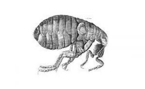 Croydon Pest Control Fleas