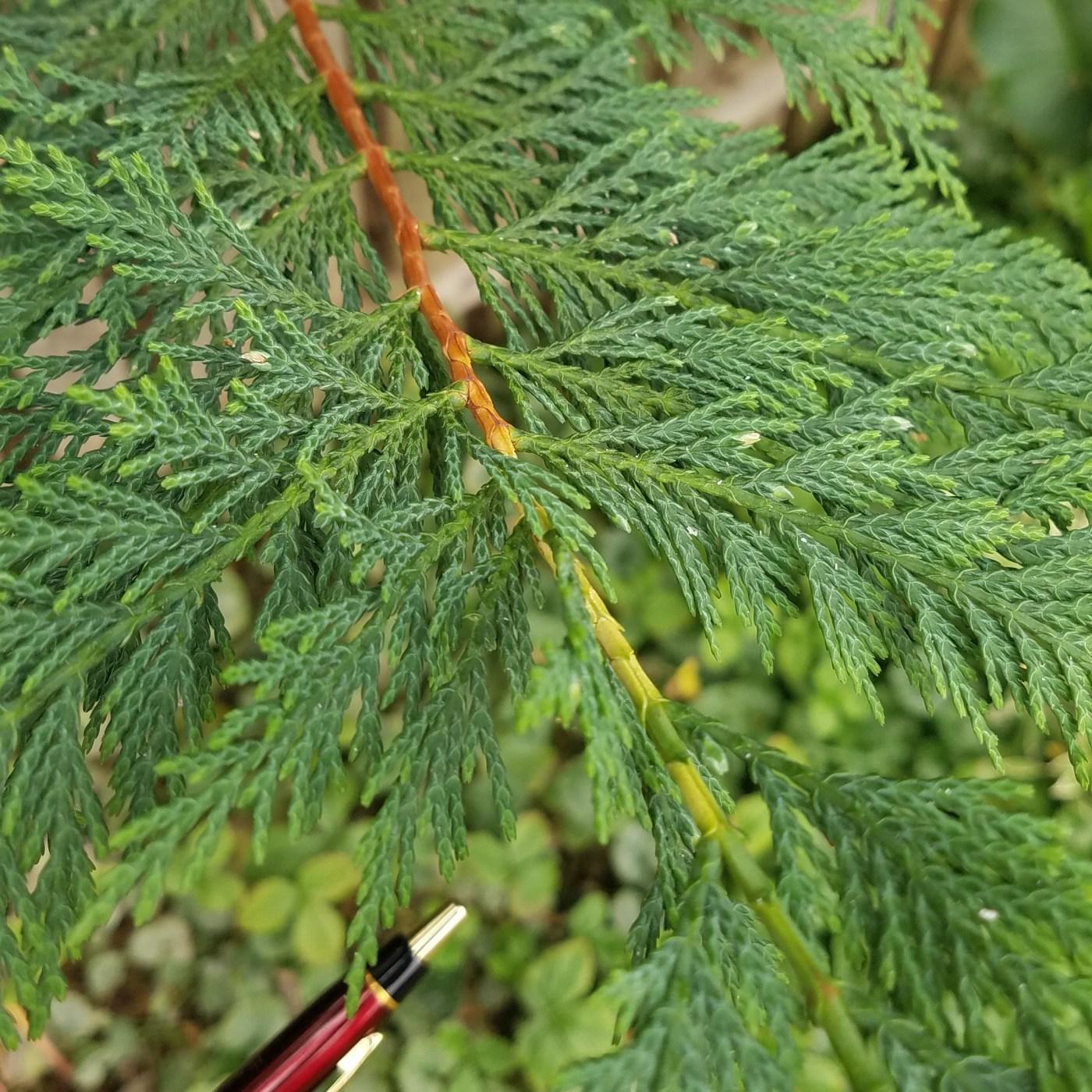 Conifer Leaf Ap Biology
