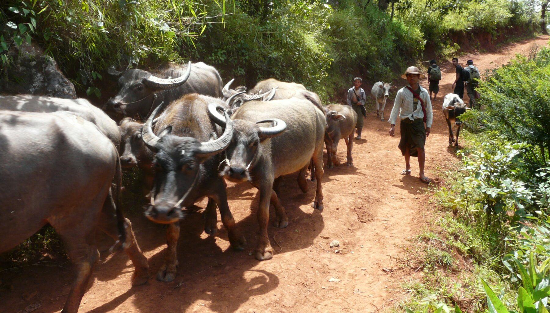 Oplev de idylliske landlige omgivelser i Kalaw regionen på din Myanmar rundrejse
