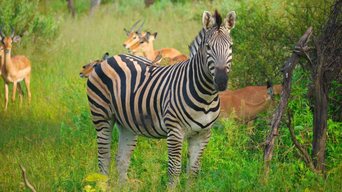 Zebra i Botswana