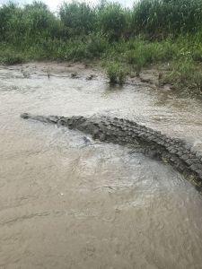Bin Laden the croc