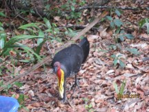 A pair of bush turkeys were making their nest near where we camped. Love the pretty neck!