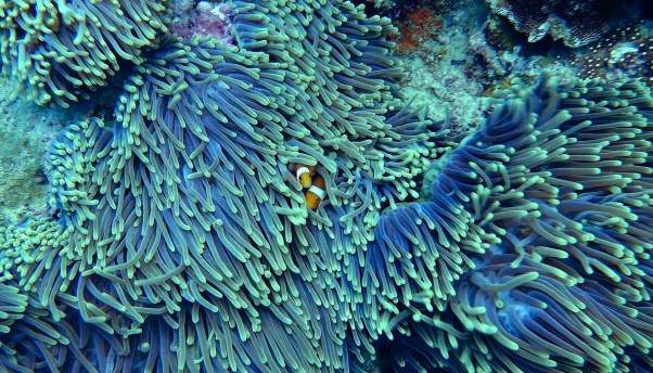 Clown fishes found a safe place to hide from predators www.cruise-maldives.com