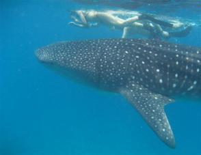 whale shark snorkeling excursion
