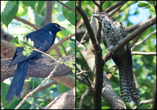 Asian Koel Male and Female