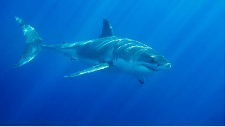 Great White Shark Freaks Out Family Of 7 On Holiday