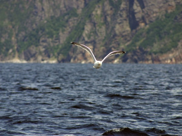 A gull followed us for a mile out of Bay d'Espoir hoping we'd throw him a fish