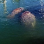 Manatees enjoying the dinghy harbor