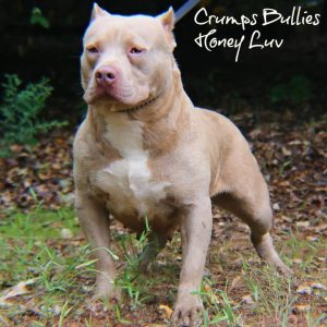 Madison : Bluenose pitbull puppies for sale in ny