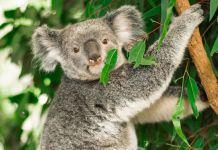 A koala's diet