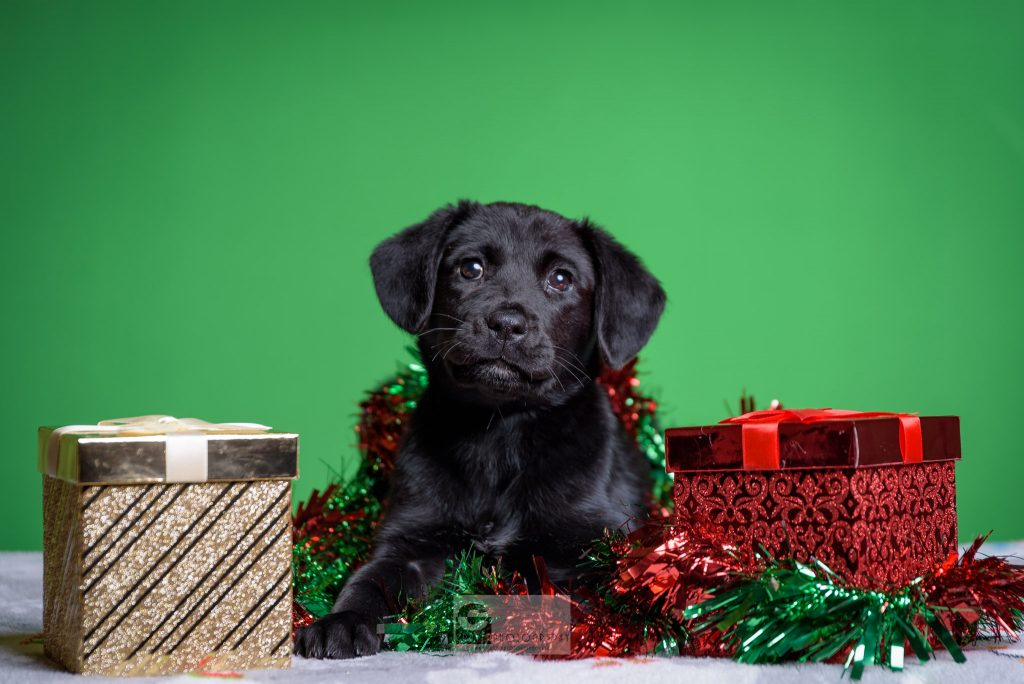 Super sweet Flossy, a black lab puppy sitting in a Christmas theme.