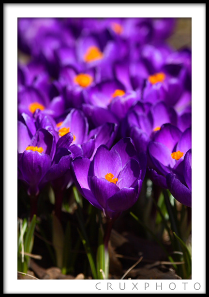 Crocus Blooms. Copyright Nate Young and Crux Photo.
