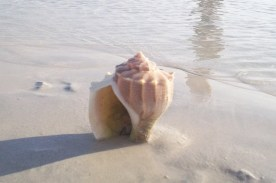 Conch Shell © Cynthia Martz