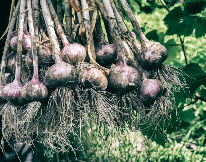 shallow-roots-garlic