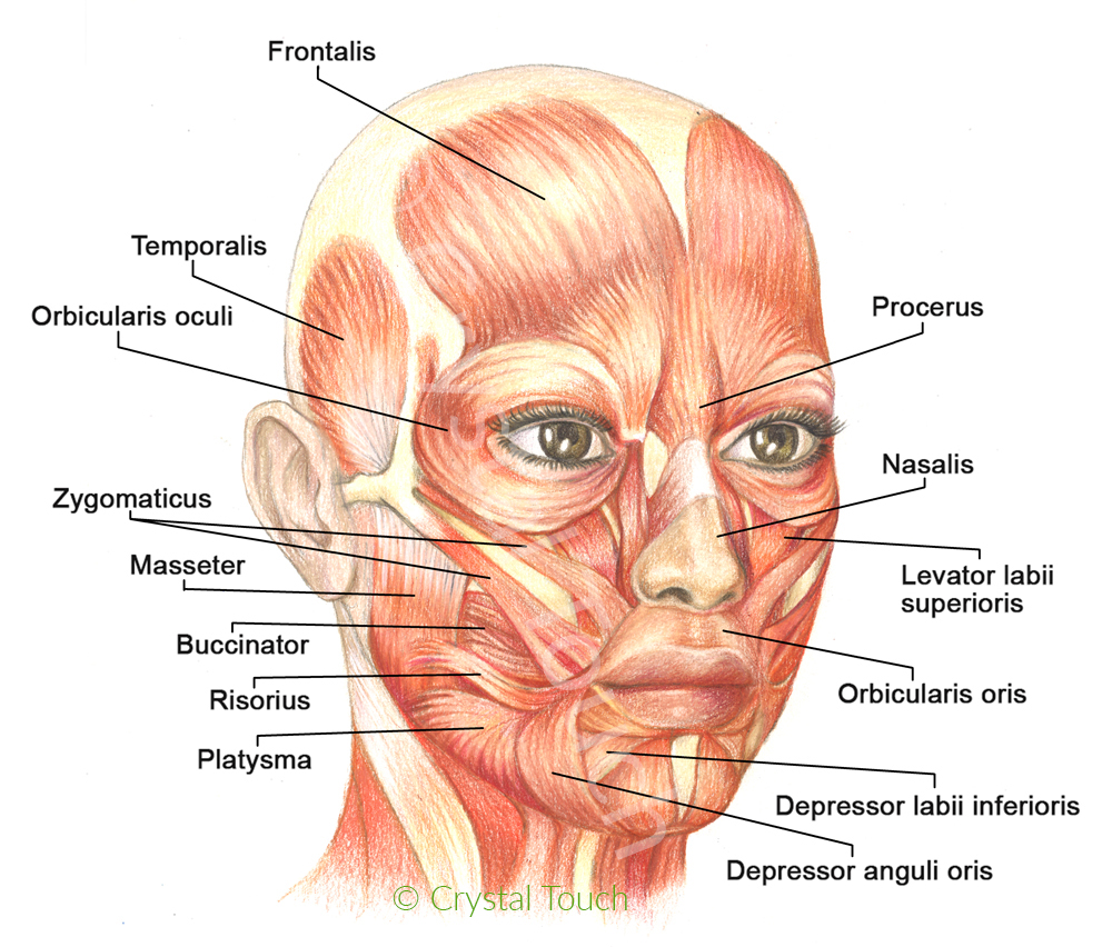 hight resolution of human face anatomy diagram