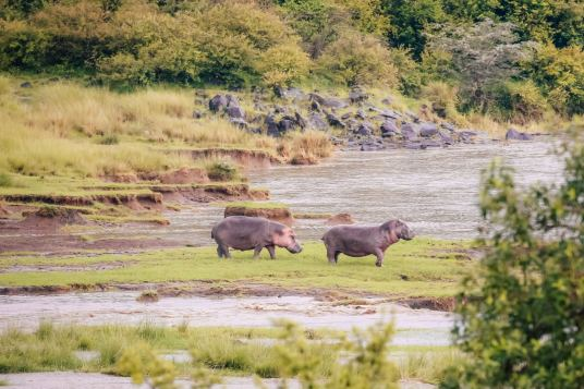 Hippos grazing just outside the tent