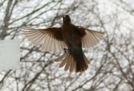 hovering in front of the window, wings outstretched, legs in front