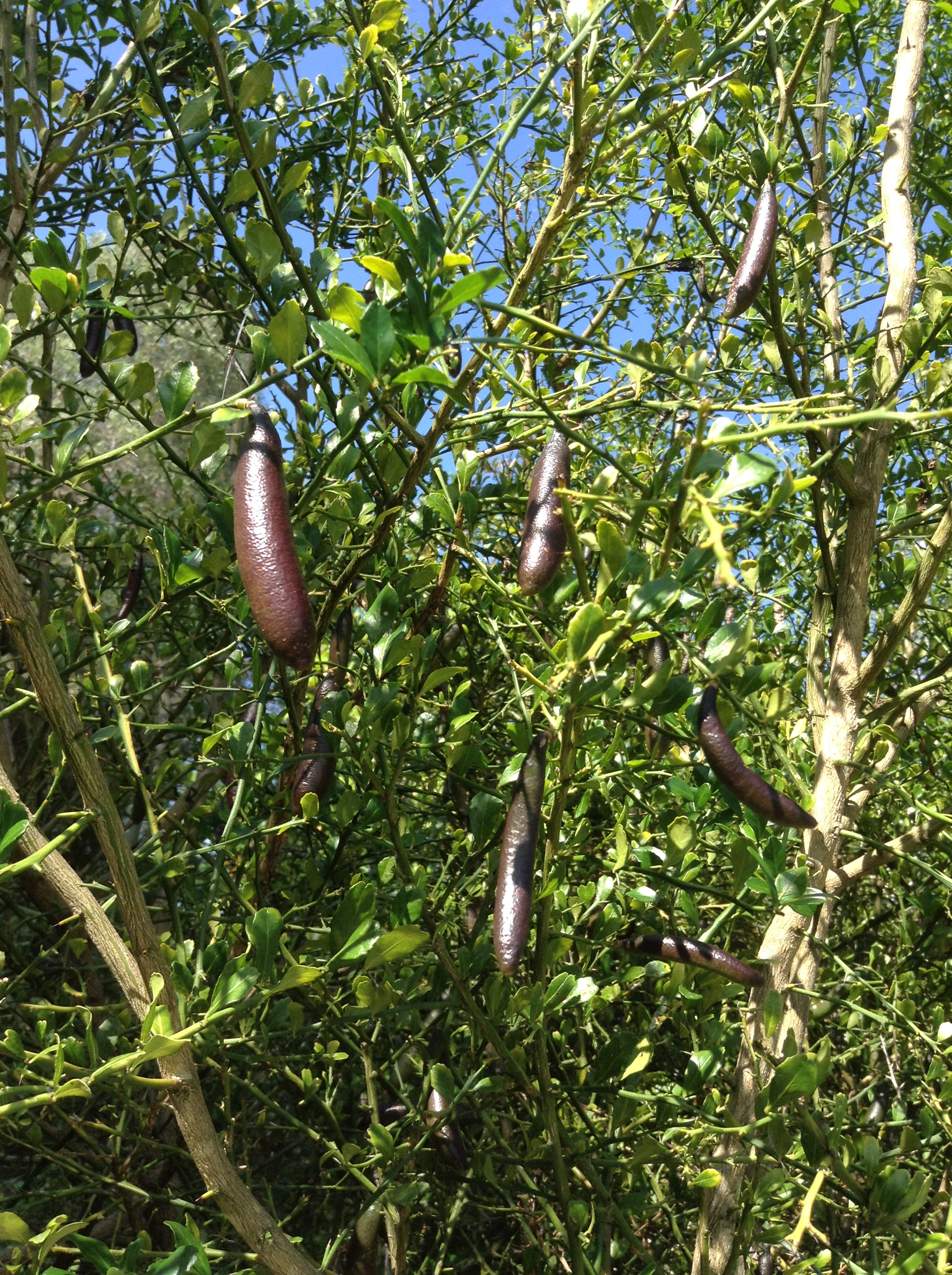 finger limes on tree