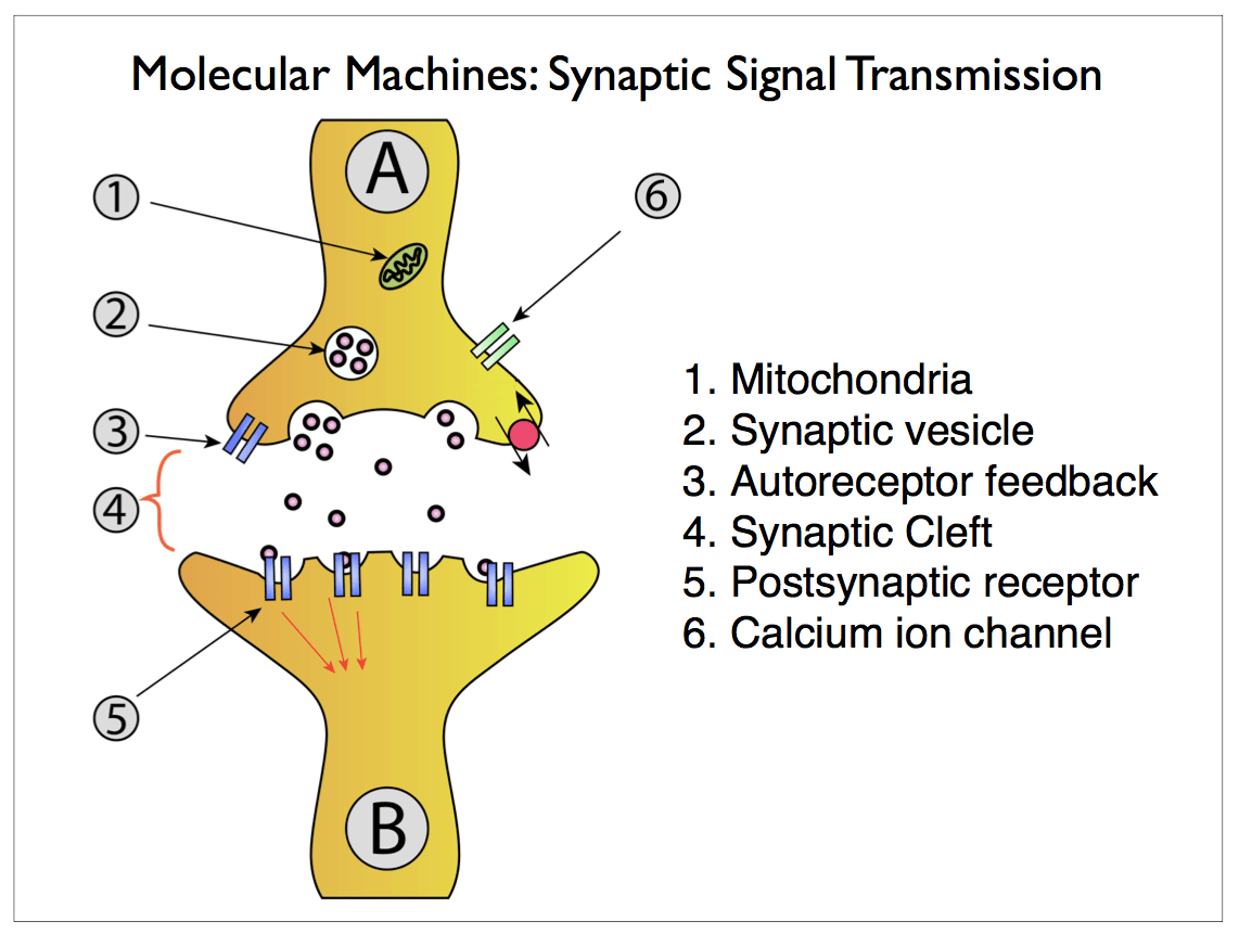 synapse diagram label muscular system labeled scalable neuroscience and the brain activity mapping project