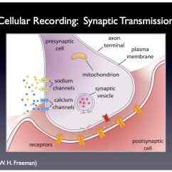Simple Reflex Arc Diagram Virago 125 Wiring Neuron Google Pituitary Gland Elsavadorla