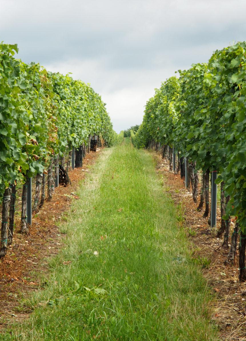vineyard 861x1191 1 - One Hope