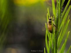 14-09-03 Honey Bee by Orner