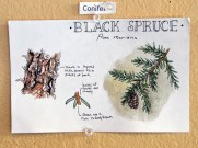 16-03-02 Drawn to Nature Black Spruce