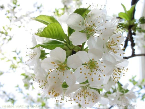 flori-de-cires