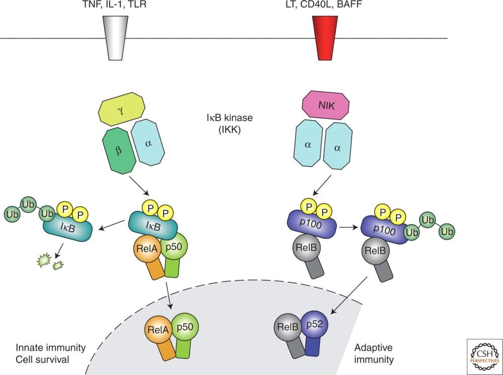 medium resolution of inflammation pathway diagram