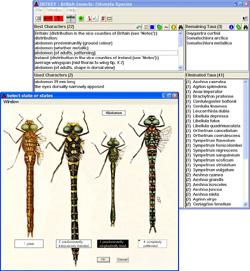 INTKEY windows showing an identification in progress. Here the abdomen characteristics of adult insects are being interrogated.