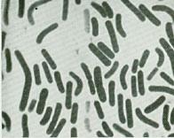 Smear of a colony