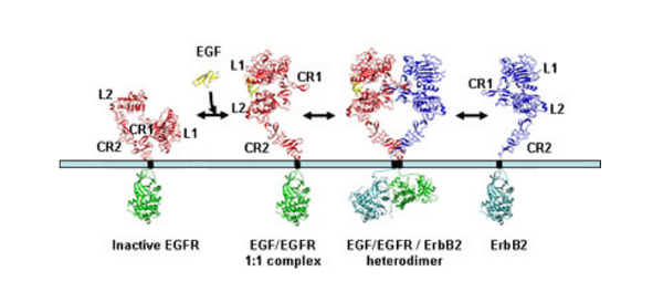 Signalling by members of the EGFR family