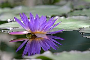 Water-Lilly-edit-by-russ