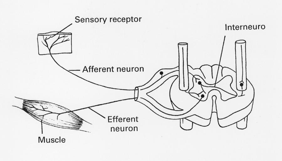 diagram of a simple reflex arc 2003 lancer evolution wiring figure 1reflex jpg