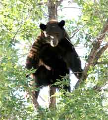 Photos by Devin Fisher.  A 200-pound black bear keeps an eye on Fort Carson wildlife conservation and Provost Marshal police officers from his perch in a Cheyenne Village housing area tree Aug. 25.