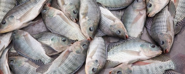 Talapia Fish-2
