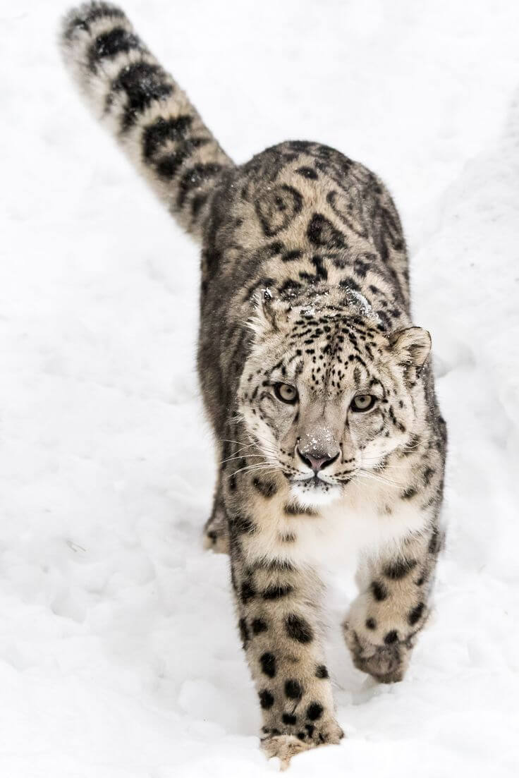Fluffy snow leopard walking through the snow, looking up at the camera with an inquisitive face.