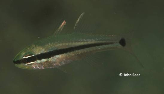 Spiny-eye Cardinalfish (Apogon fraenatus)