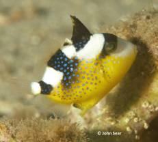 Blue Triggerfish (Pseudobalistes fuscus)