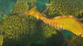 Weedy Seadragon (Phyllopteryx taeniolatus)Weedy Seadragon