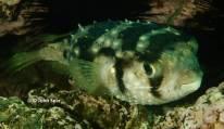 Three-Bar Porcupinefish (Dicotylichthys punctulatus)